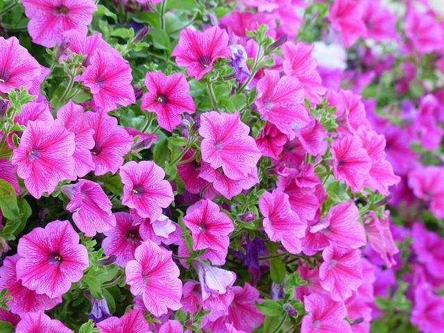 petunia_177388_640_0.jpg