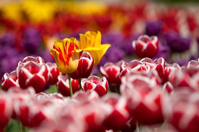 tulips_65305_640_0.jpg